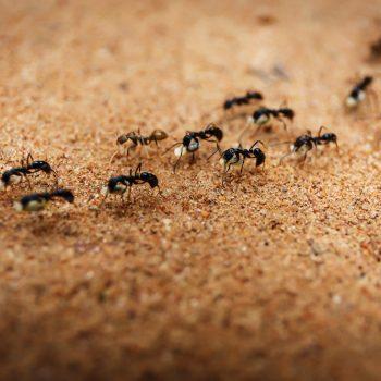 از بین بردن مورچه ها